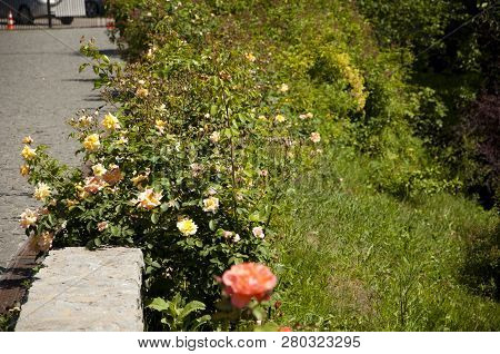 Roses The Way Nature Intended. Rose Flowers Blossoming In Park Garden. Shrubs Of Roses Flowering Alo