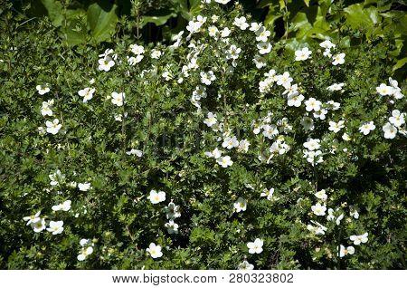 Beauty Blooms In The Garden. White Flowers Blossoming In Park Garden. Green Shrubs Flowering In City