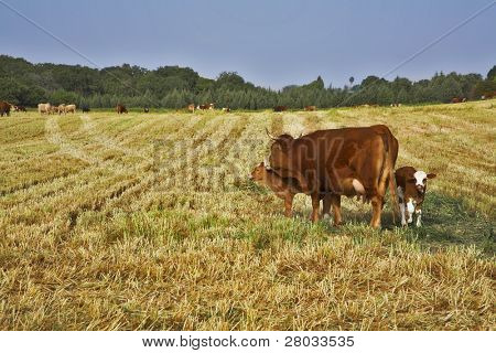 The well-groomed corpulent cow with calf on a pasture