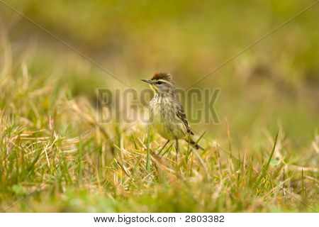 Palm Warbler In The Field