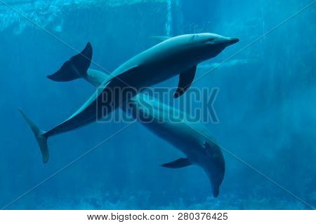 Common bottlenose dolphins (Tursiops truncatus).