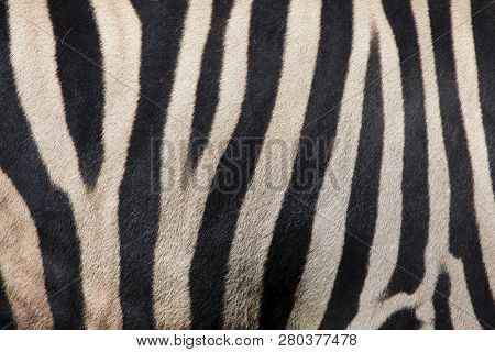 Burchell's zebra (Equus quagga burchellii), also known as the Damara zebra. Skin texture.