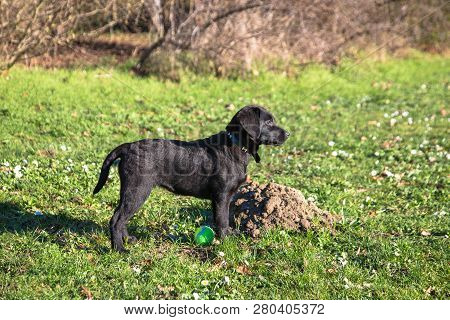 Labrador Retriever Puppy Walking. Labrador Puppy Stands In A Rack On Green Grass With Daisies In A P