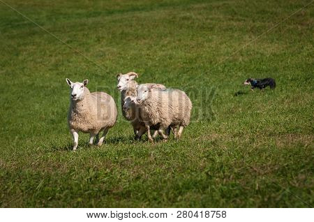 Sheep (ovis Aries) Run In Stock Dog In Background - At Sheep Dog Herding Trials