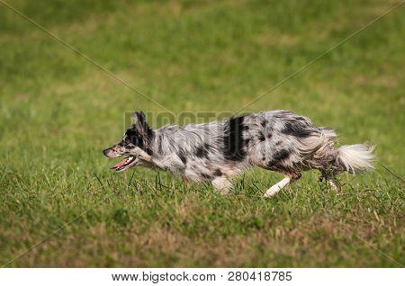 Stock Dog Moves Left - At Sheep Dog Herding Trials