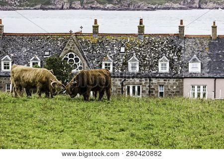 Highland Cattle On Iona With Isle Of Mull In The Background