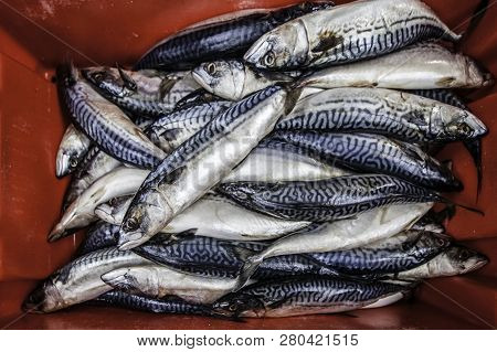 Fresh Mackerel At Saint Georges Market In Belfast