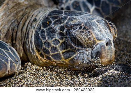 Resting Sea Turtle On The Hawaii Coast
