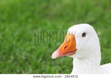 White Goose Face