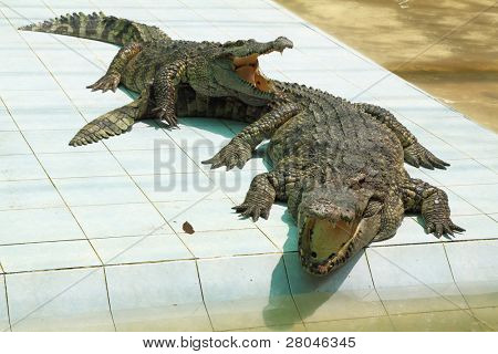 Two hungry crocodiles with open mouths in expectation of a forage poster