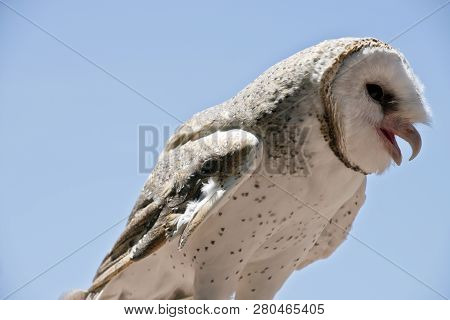 this is a close up of a barn owl poster