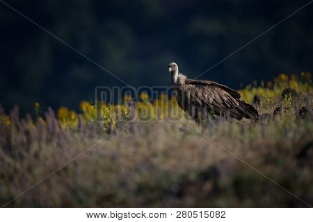Gyps Fulvus. The Wild Nature Of Bulgaria. Free Nature. A Beautiful Picture Of Nature. Rhodopes. Big