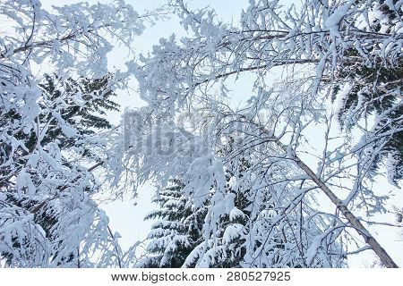 Trees In The Forest In The Winter From A Low Angle Viewpoint. White Snow Covering The Trees And. Alm