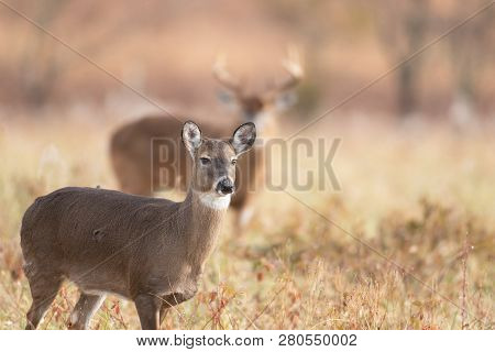 A White-tailed Doe In The Foreground With Large Buck Background In Meadow In Smoky Mountains Nationa