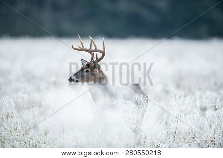 White-tailed Deer Buck In Frost Covered Field