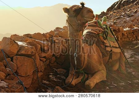 Camel For Tourist Trips. The Animal Waits For Tired Tourists To Take Them To The Top Of The Mount Si
