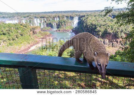 Dangerous Wild Coati (nasua) Posing On Brazilian Side Of Iguazu Falls National Park, With Argentinia