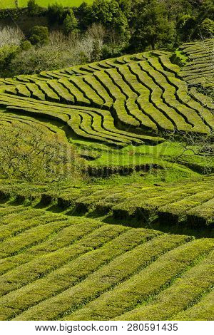 Tea Plantation, Interesting Wavy Pattern Of Lines Of The Green Plants.