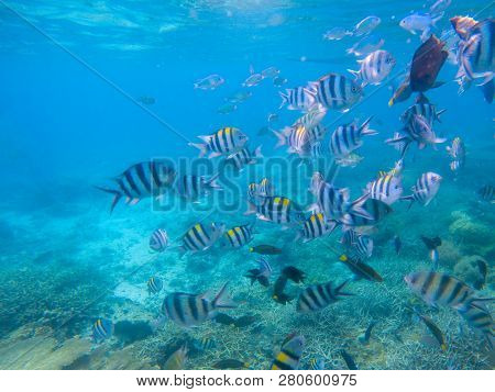 Striped Dascillus Fish School Closeup. Coral Reef Underwater Landscape. Tropical Fishes In Blue Wate
