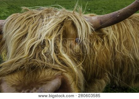 Highland Cow On The Island Of Iona In Scotland