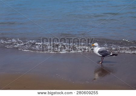 One Seagull On A Sandy Beach With Waves Rolling In At Aquatic Park, San Francisco, California, Usa