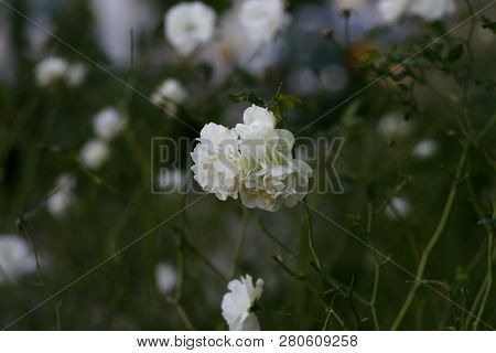 White Japanese Roses Blooming In A Garden