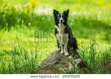 Adorable Young Black And White Border Collie Dog Sitting On A Piece Of Rock, Open Mouth, Green Grass