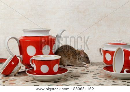 The Rat (rattus Norvegicus) Eats Near Teapot And Sugar Bowl On Countertop At Kitchen In An House. Co