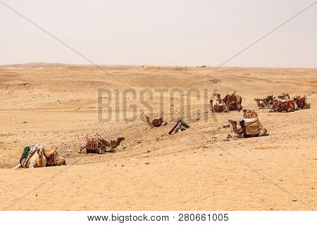 Camels For Tourists And Guides Riding On Giza Plateau In The Rocky Desert Near Cairo Egypt