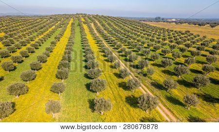 Drone Aerial View Of Olive Grove In Alentejo Portugal