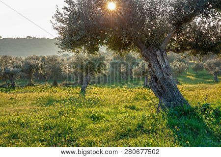 Old Olive Trees Grove In Bright Morning  Sunlight Alentejo Landscape