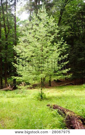 small pine tree in a forest