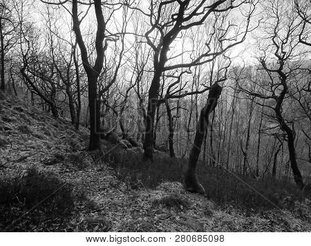 Monochrome Image Of A Winter Forest On A Hillside With Backlit Twisted Dark Trees Against The Light