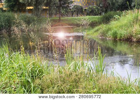 Beautiful View Reflection Of Pine Forest In Lake. The Sun Is Reflected In The Lake. Phragmites Is A