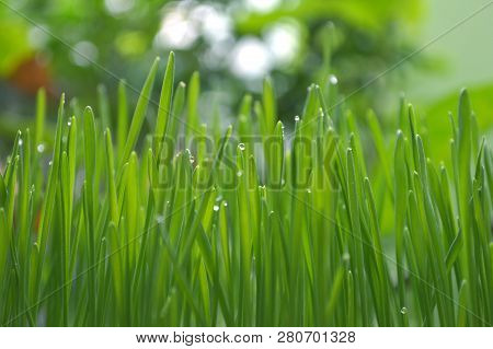 Fresh Wheatgrass With Water Drops From Central Of Thailand