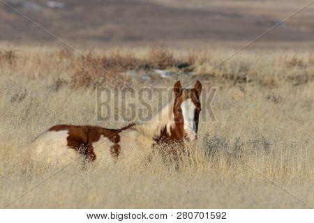 A Cute Wild Horse Foal In The Utah Desert In Winter