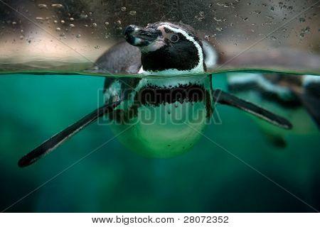 Plexiglass Freedom - Penguin at the zoo