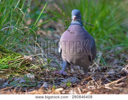 Common wood pigeon proudly walking with a small branch in beak poster