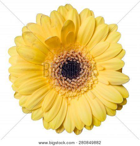 Beautiful Yellow Gerbera Daisy Flower Isolated On White Background Closeup