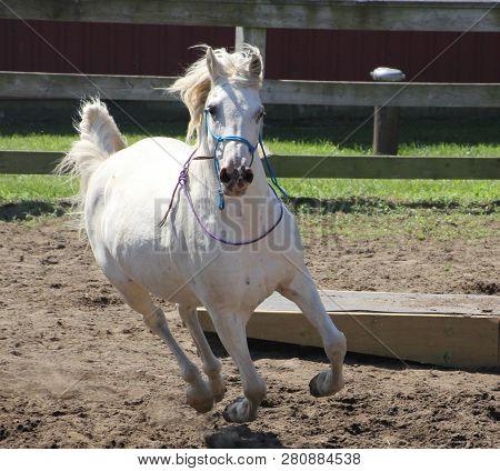 White Arabian Gelding In Motion, Running Outside In Sand Arena.