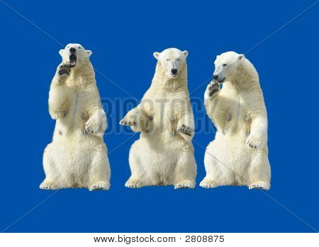 Three polar bears - females standing up on the hind legs over blue poster