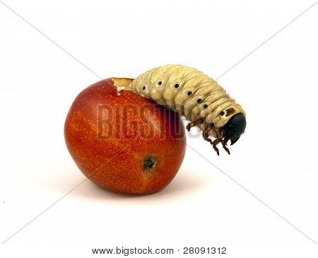 Giant worm in apple