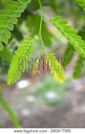 Fresh Green Tamarindus Indica Tree In Nature Garden