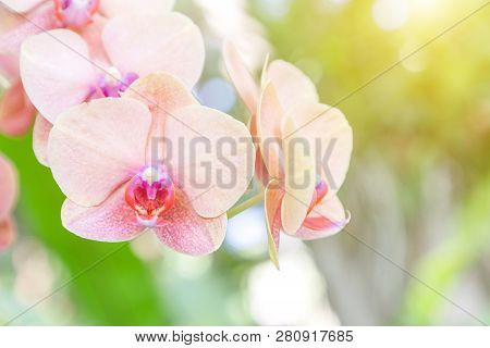 Orchid Flower. Phalaenopsis Orchid. Flower In Garden At Sunny Summer Or Spring Day. Flower For Postc