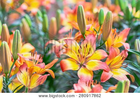 Lily Flower. Flower In Garden At Sunny Summer Or Spring Day. Flower For Postcard Beauty Decoration A