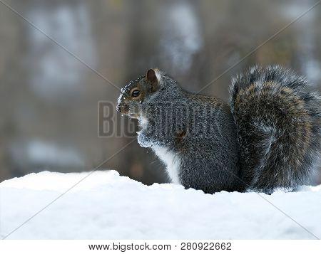 Gray Squirrel - Sciurus Carolinensis - Eastern Gray Squirrel Or Grey Squirrel, Closeup On Snow.