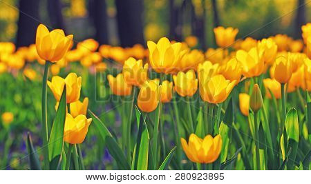 Group Of Colorful Tulip. Yellow Flower Tulip Lit By Sunlight. Soft Selective Focus, Tulip Close Up,