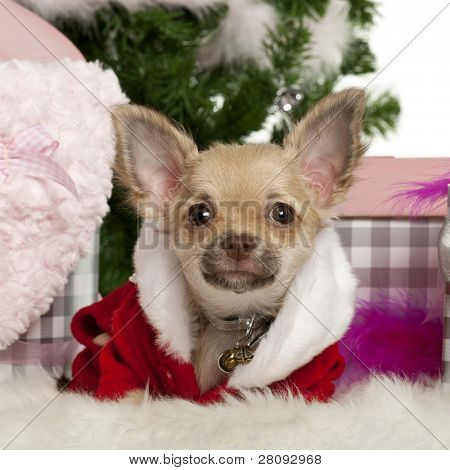 Chihuahua puppy, 5 months old, with Christmas gifts in front of white background