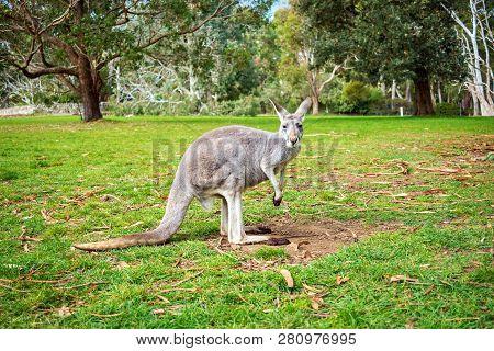 Wild Kangaroo In Adelaide Hills In Adelaide Hills, South Australia