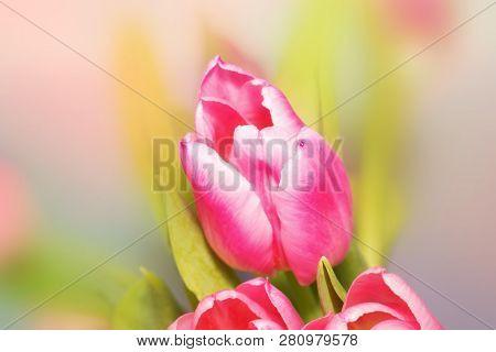 Pink Tulip Flower On Beautiful Bokeh Blurred Background Of Flower Field In Moning.